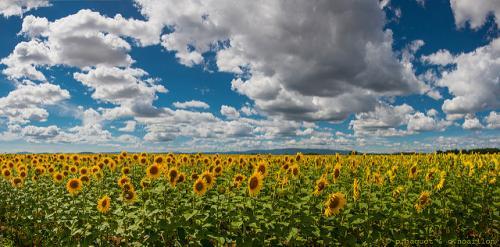 Un champ de tournesol à Valensole